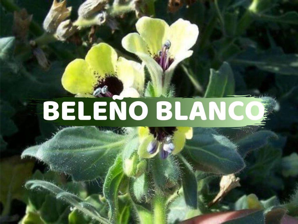 Beleño Blanco